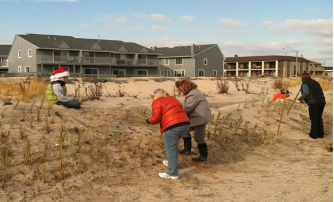Planting dune grass along South Beach in Sea Bright, December 2013. Photo by Steve Nelson.